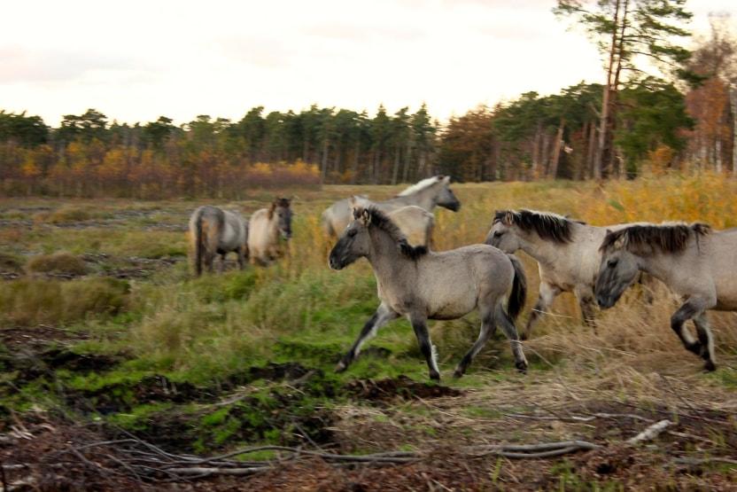 Bøtøskoven heste vildheste konik Den Danske Naturfond